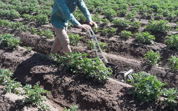 Experimental cultivation method could mean healthy potato yield and healthier water
